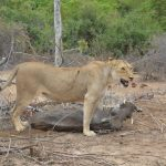Mbazi Safaris - Kruger National Park Tour Operator - Big Five Wildlife KNP